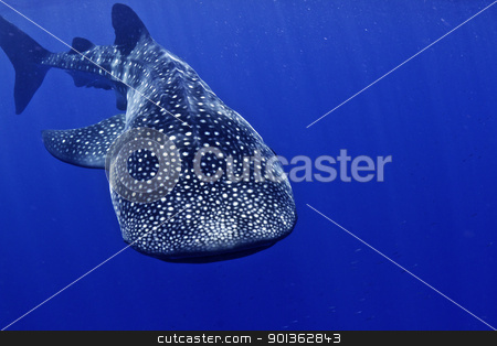 Whale shark frontal stock photo, A huge whale shark swims to the camera. by mojojojo