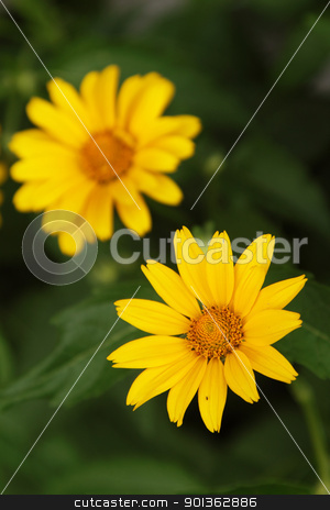 Arnica flowers stock photo, Yellow arnica flowers in a garden by Olena Pupirina