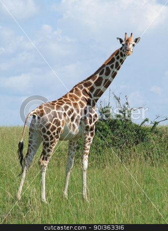 Giraffe in sunny african ambiance stock photo, a Rothschild Giraffe in Uganda (Africa) while standing in grassy savannah by prill