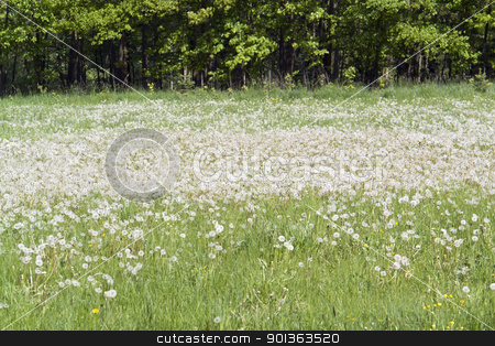 lots of dandelions stock photo, idyllic spring scenery showing lots of dandelion blowballs near a forest edge in Hohenlohe (Southern Germany) by prill