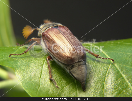 may beetle sitting on a twig stock photo, may beetle sitting on a twig with fresh leaves in dark back by prill