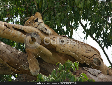 Lion in Uganda stock photo, a Lion resting in a tree in Uganda (Africa) by prill