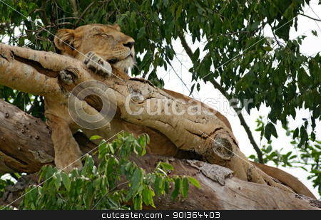 Lion on a tree in Uganda stock photo, a Lion resting on a tree in Uganda (Africa) by prill