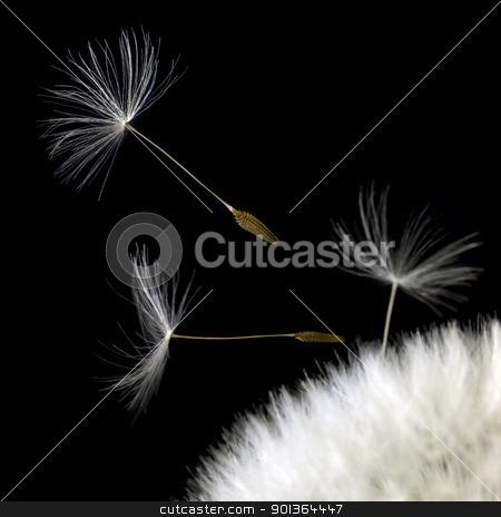 dandelion seeds closeup in black back stock photo, some dandelion seeds in black back by prill