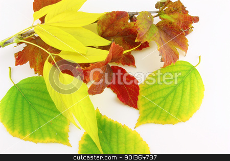 Twigs with autumn color leaves stock photo, Twigs with autumn color leaves over white by Sergei Devyatkin