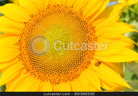 Sunflower stock photo, Sunflower close-up with green leaves on background by Iryna Rasko