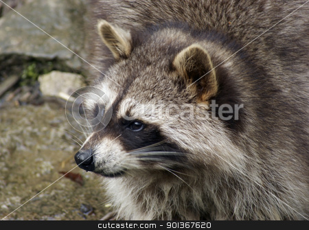 Raccoon and water stock photo, detail of a Raccoon in natural water ambiance by prill