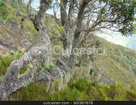 overgrown tree at Mount Muhabura in Uganda stock photo, overgrown tree at Mount Muhabura in Uganda (Africa) by prill