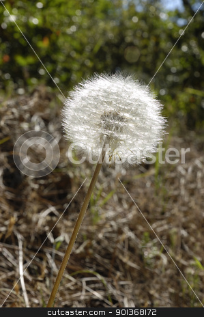 Dandelion seeds in a stem in the sunlight stock photo, Dandelion seeds in a stem in the sunlight by Jeffrey Banke