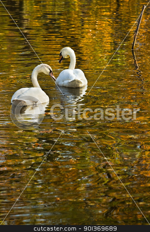 Swans in fall stock photo, White mute swans swimming in colorful reflection of autumn trees by Colette Planken-Kooij
