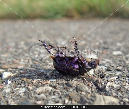 dead bug supine on pavement stock photo, closeup showing a dead bug named Cysolina sturmi supine on pavement in sunny ambiance by prill