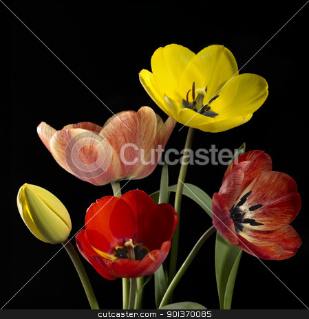 colorful tulip flowers stock photo, Studio photography of some colorful tulip flowers in black back by prill