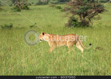 Lion in the african savannah stock photo, a lion walking through green african savannah scenery in Uganda by prill