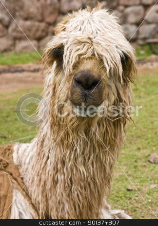 Alpaca stock photo, Close up of an alpaca's face by Kobby Dagan