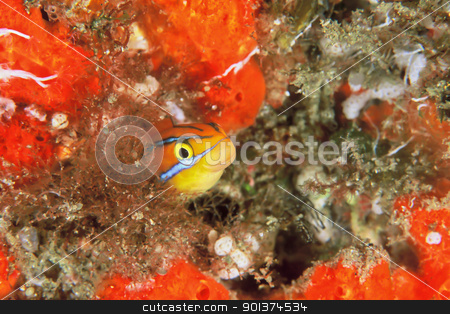 Cheeky fish stock photo, A close up on a cardinal fish hiding in sea plants, KwaZulu Natal, South Africa by Fiona Ayerst Underwater Photography