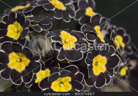 Detail of black Primrose stock photo, Detail of black Primrose with dark background by orson