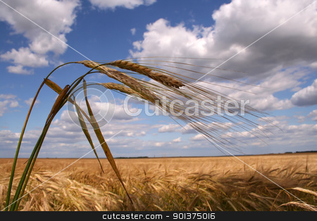 Corn field with three ears stock photo, Corn field with three ears and the field on the background by orson