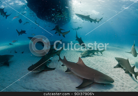 Mass of lemon sharks stock photo, A large group of lemon sharks underneath a dive boat, Bahamas by Fiona Ayerst Underwater Photography
