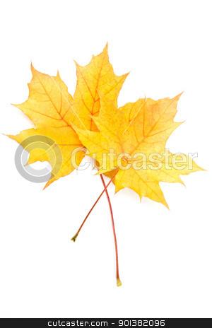 Autumn yellow maple leaf stock photo, Autumn yellow maple leaf isolated on white background   by Ingvar Bjork