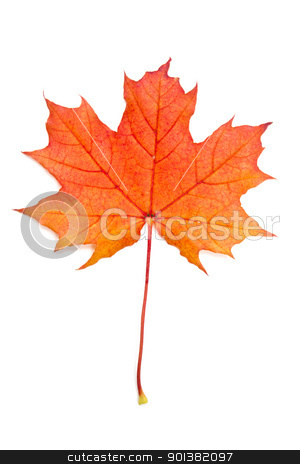 Autumn red maple leaf stock photo, Autumn red maple leaf isolated on white background   by Ingvar Bjork