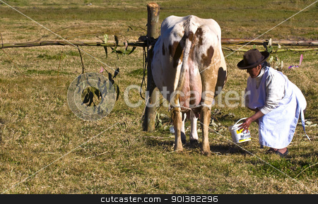 Peru cow milking stock photo, SACRED VALLEY,  PERU - MAY 29 : Peruvian woman is milking a cow in a farm at the Andes of Peru by Kobby Dagan