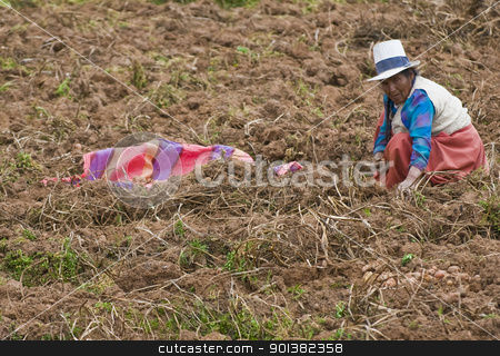 Potato harvest stock photo, SACRED VALLEY,  PERU - MAY 26 : Peruvian woman in a potato harvest in the Andes of Peru by Kobby Dagan