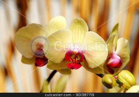 Yellow orchid stock photo, The yellow orchid flowers over bamboo sticks by Tito Wong
