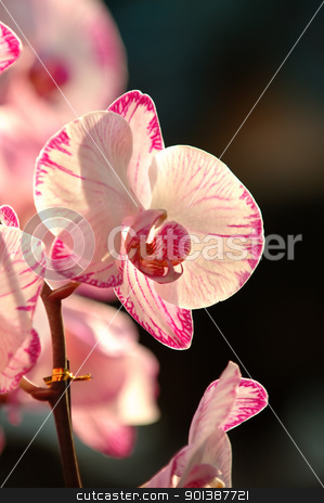 White orchid stock photo, A close up shot of white orchid by Tito Wong