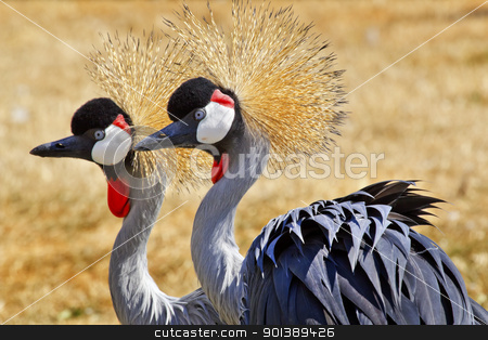 Southern Crowned Cranes stock photo, Southern Crowned Cranes Balearica Regulorum by William Perry