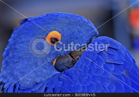 Blue Hyacinth Macaw stock photo, Blue Hyacinth Macaw Playing Peek A Boo  by William Perry