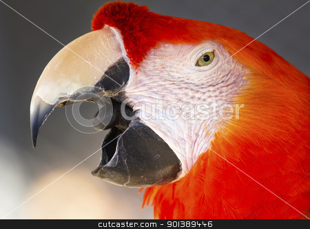 Scarlet Macaw stock photo, Scarlet Macaw Close Up Beak Open Ara Macao by William Perry