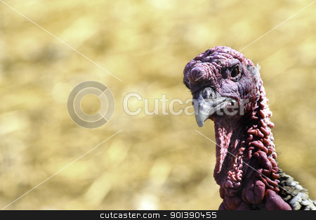 American Turkey stock photo, A closeup shot of an American Turkey with red skin by Don Fink