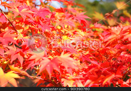 maple in autumn with red and orange leaves stock photo, maple in autumn with red and orange leaves by Chretien