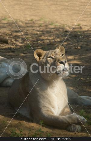 Fimale Lion stock photo, Female lion lying on the ground by Valentyna Chukhlyebova