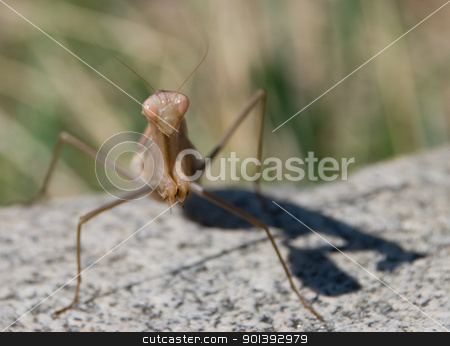 Mantis against rock and green background stock photo, Mantis by Alexander Donchev