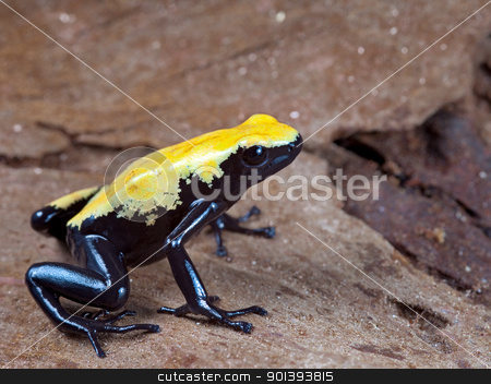 yellow and black poison dart frog stock photo, yellow and black poison dart frog,dendrobates galactonotus of Brazil Amazon rain forest, exotic pet animal in tropical rainforest terrarium by Dirk Ercken