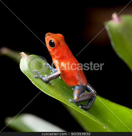 red poison dart frog stock photo, red poison dart frog blue legs beautiful rainforest species of costa rica and panama kept as a pet in a terrarium ,oophaga pumilio exotic amphibian by Dirk Ercken
