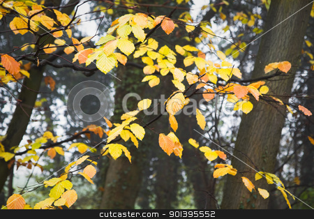Yellow leaves on beechtrees in autumn stock photo, Misty day in November - Last yellow leaves on beechtrees in autumn by Colette Planken-Kooij