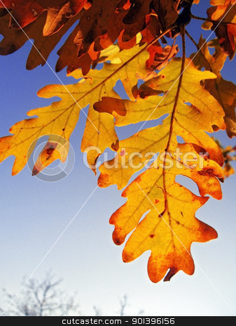 Red and yellow oak leaves on the branch stock photo, Red and yellow oak leaves on the branch by sculler