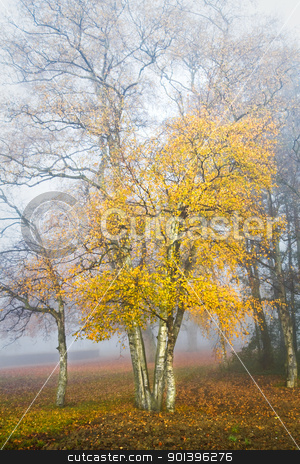 Birch trees in the mist in autumn stock photo, Dense fog in fall - Birch trees in the mist on cold November day by Colette Planken-Kooij
