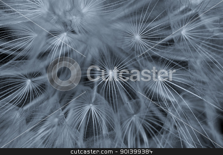 dandelion abstraction stock photo, Dandelion plant macro abstract background. Selective focus. by sirylok