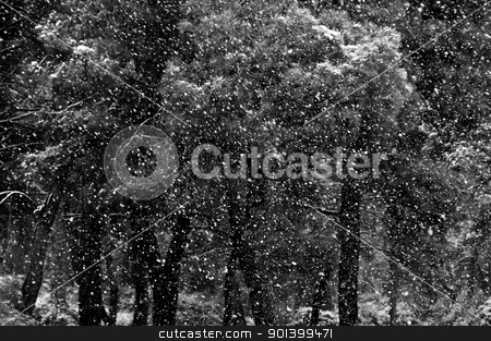 poor visibility stock photo, Falling snow storm in pine tree forest. Black and white. by sirylok