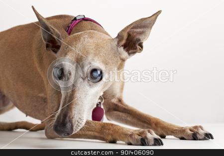 old blind dog stock photo, portrait of old blind dog, Italian Greyhound, lying down, focus on eyes with cataract by Marek Uliasz