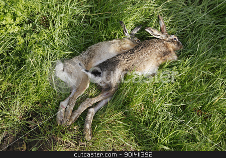 two dead hares after the hunt stock photo, Two shot hares in the grass after the hunt by anton havelaar
