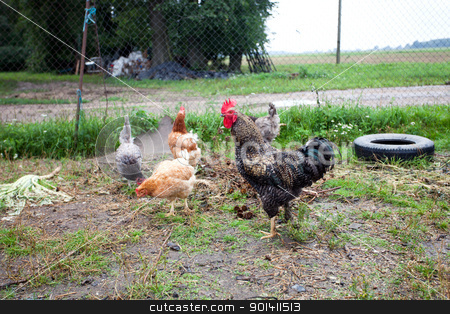 The cock and hen stock photo, Free range rooster and hen by Ints Vikmanis