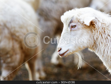 Young bearded goat stock photo, Young bearded goat with soft focus herd in background by bobkeenan