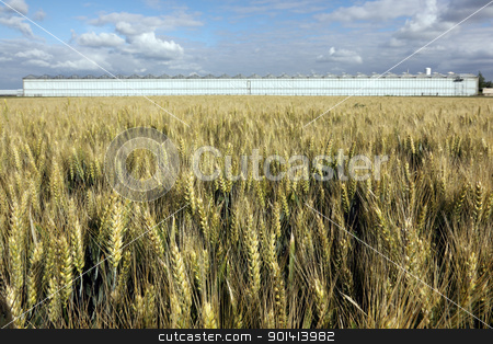 Wheat field and greenhouses stock photo, Wheat field and greenhouses, blue sky with white clouds by anton havelaar