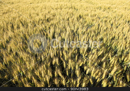 Yellow Wheat field stock photo, Wheat field seen from above  by anton havelaar