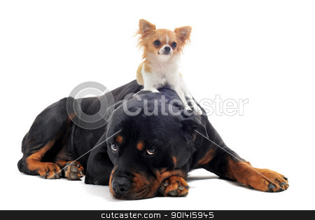 rottweiler and puppy chihuahua stock photo, portrait of a purebred rottweiler and puppy chihuahua on the back in front of white background by Bonzami Emmanuelle
