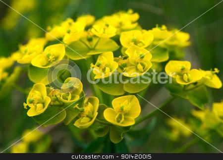 Small yellow flowers stock photo, Small yellow flowers by vtorous